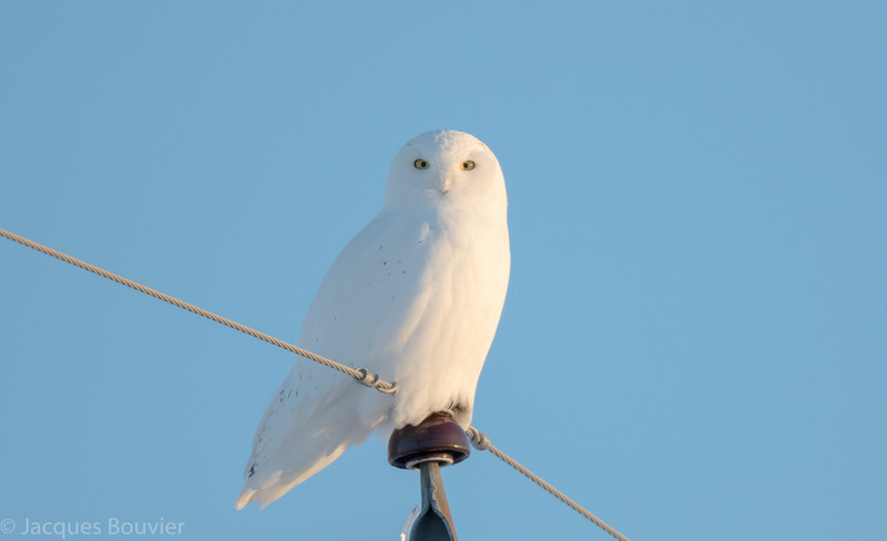 Harfang des neiges.  Variable de l'automne au printemps; extrêmement rare tôt l'été _  Snowy Owl.  Variable from fall to spring; extremely rare during early summer.