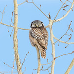 Chouette �pervi�re.  Variable, automne au printemps. Extr�mement rare l'�t�.  Nicheur _   Northern Hawk-Owl.  Variable, fall to spring. Extremely rare in summer.  Breeds.
