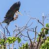 Grand Héron adulte, et jeunes dans leur nid à l'Île Dodens (QC) près de Lancaster (ON) le 24 mai 2012. Merci à Jim LeBlanc et au Cornwall and Area Birding Club pour l'occasion de visiter ce site.<br /> <br /> Commun, printemps-automne.  Rare l'hiver.  Nicheur.<br /> <br /> <br /> Adult GREAT BLUE HERON, and young in their nests on Dodens Island (QC) near Lancaster (ON) on 24 May 2012.  Thanks to Jim LeBlanc and the Cornwall and Area Birding Club for the opportunity to visit this site.<br /> <br /> Common, spring-fall.  Rare in winter.  Breeds.