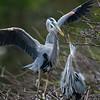 Grand Héron, le couple adulte en plumage nuptial en Floride le 10 février 2014.  Ils sont en train de collectionner des branches pour leur nid.<br /> <br /> Commun, printemps-automne.  Rare l'hiver.  Nicheur.<br /> <br /> <br /> A pair of adult Great Blue Herons in breeding plumage  in Florida gathering twigs for their nest on 10 February 2014.  <br /> <br /> Common, spring-fall.  Rare in winter.  Breeds.